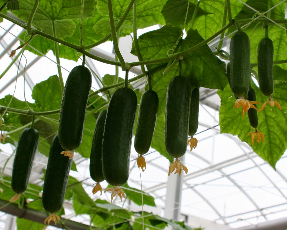 10 Tips For Growing Cucumber Plants
