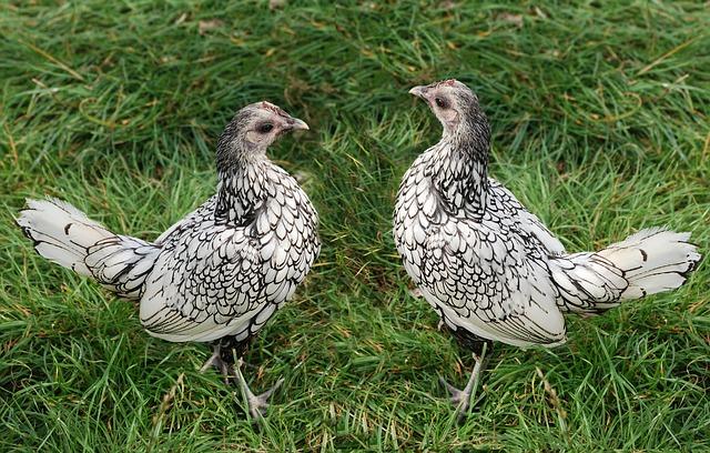 chicken-452250_640