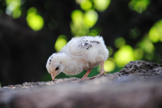 chicks-288933_640