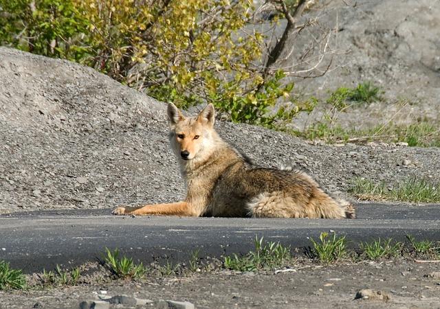 coyote-1819_640