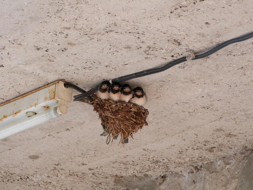 swallows-203664_1280