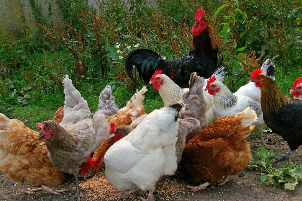 chickens-874507_1920
