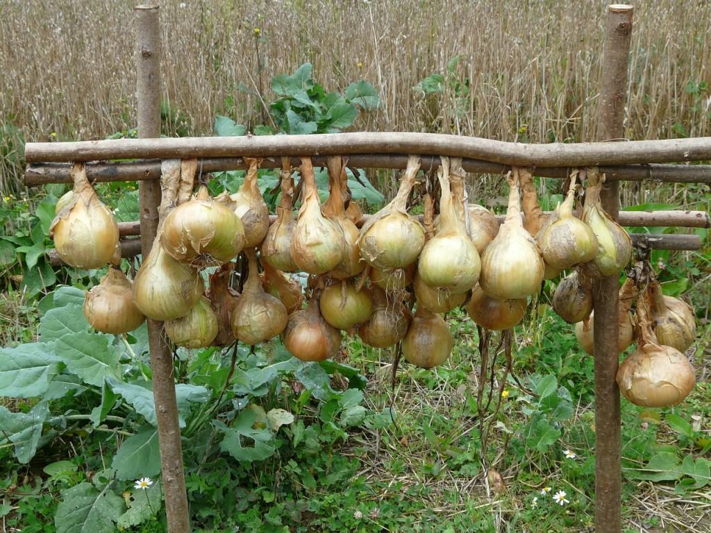 onions-61262_1280