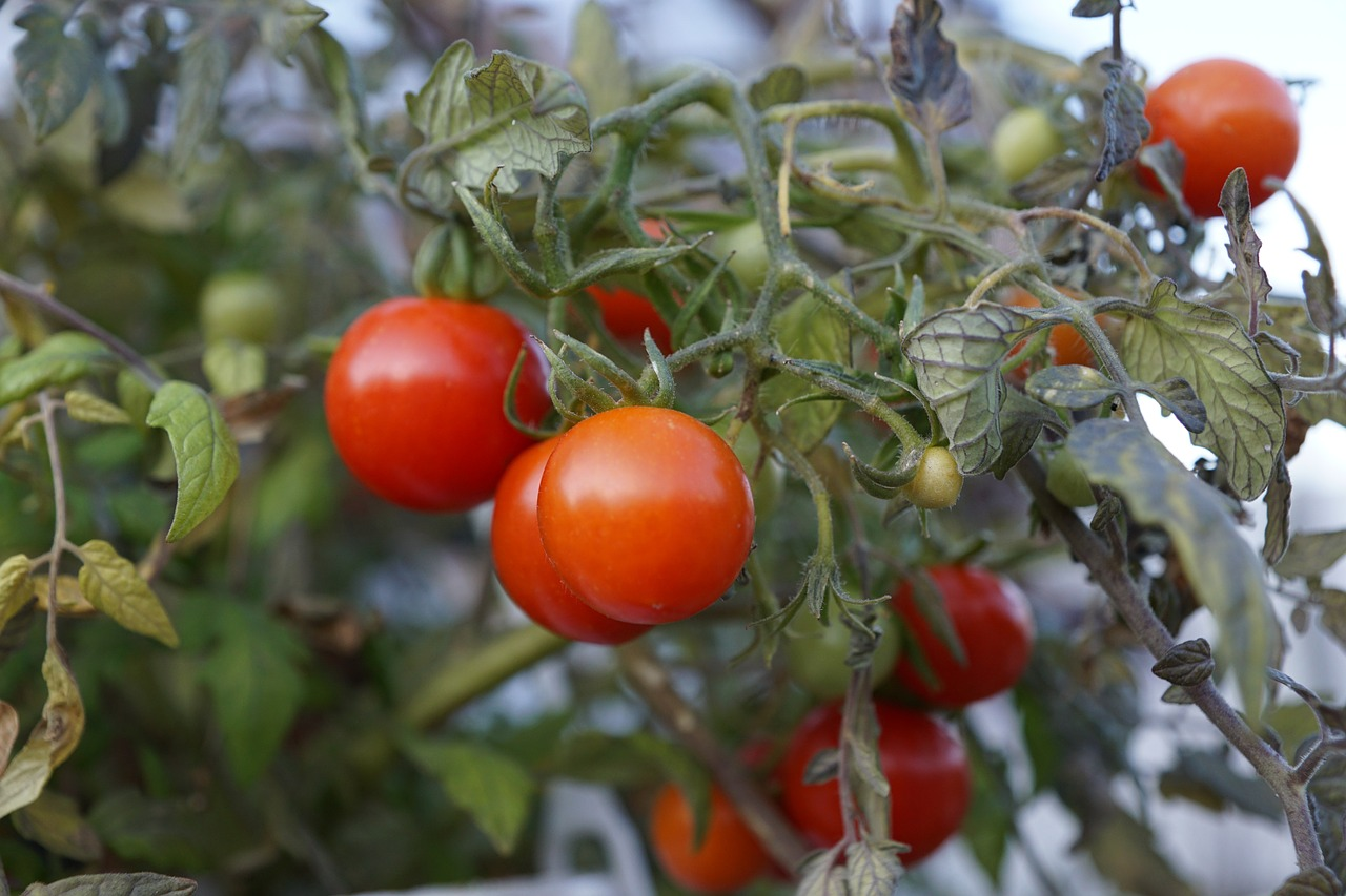how to grow grape tomatoes from seed