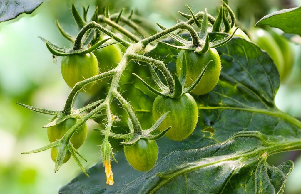 tomatoes-855947_1280