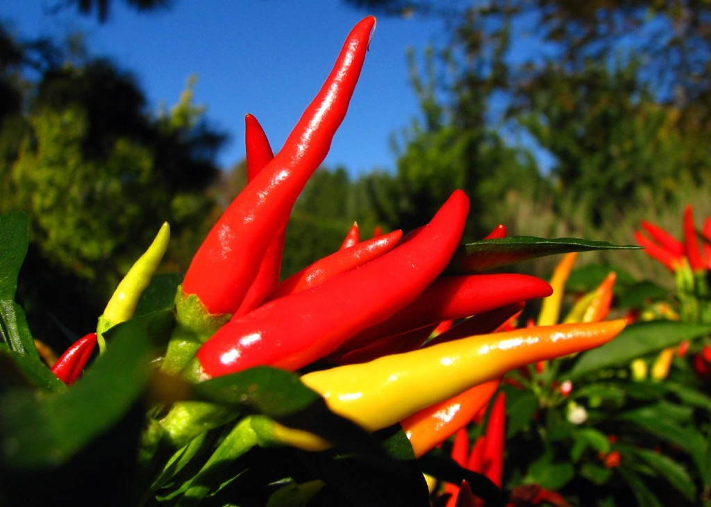 Grow Hot Chili Peppers from Seed