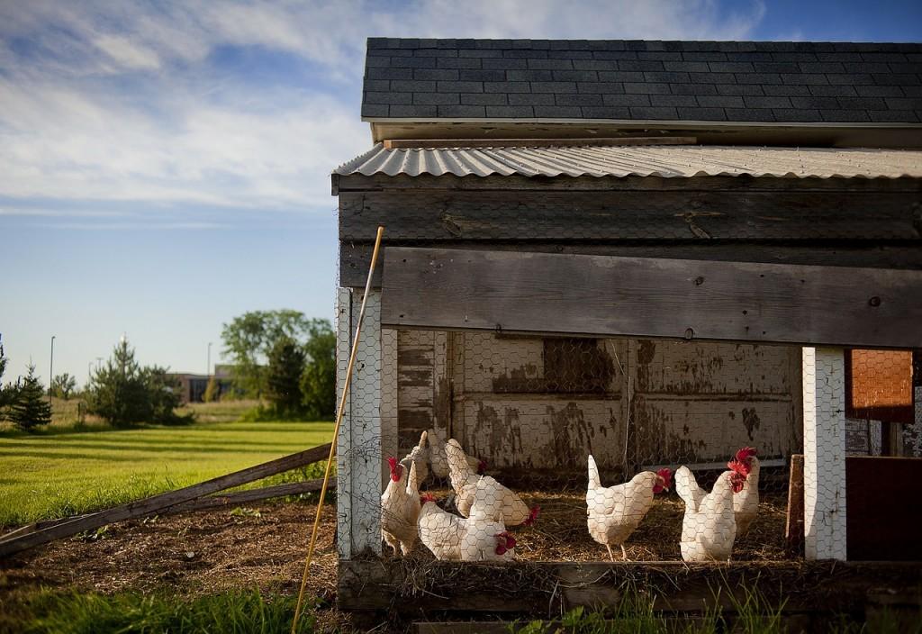 chicken-coop-343942_1280