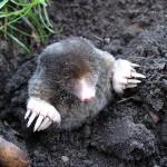 mole-13299_640
