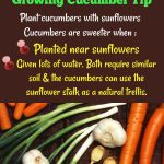 10 tips for growing cucumber