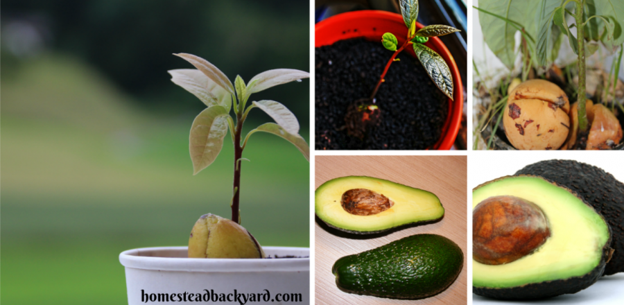 Stop Buying Avocados. Plant Them in a flower pot and you will always have Dozens of them
